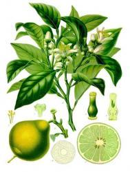 Bergamote citrus bergamia