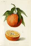 Clementine trabut 1902